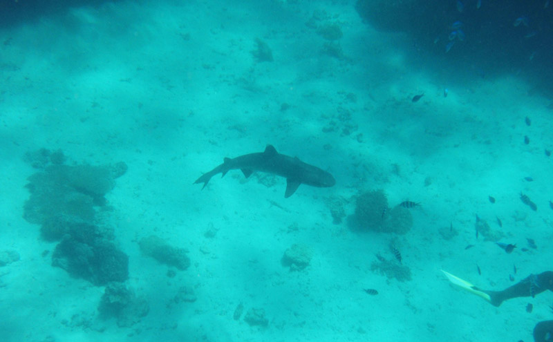 Kuata-Shark-Snorkeling
