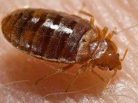Tahtakurusu (bed bugs)